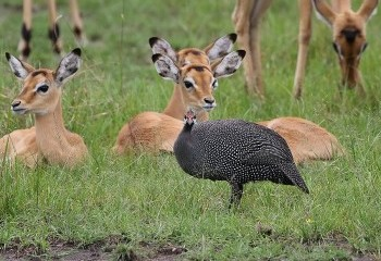 Foto de Helmeted Guineafowl and Impalas