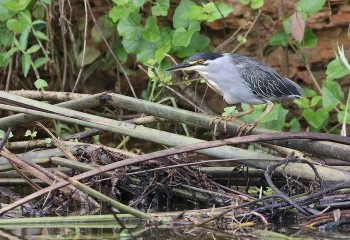 Foto de Green-backed Heron