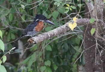 Foto de African Giant Kingfisher