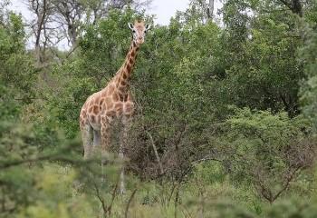 Foto de Rothchild's Giraffe