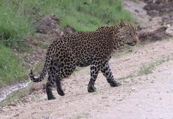 Foto de Leopardo