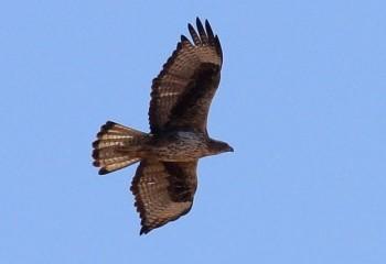 Foto de Águila perdicera adulta