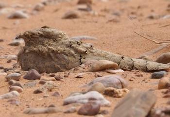 Foto de Chotacabras egipcio