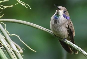 Foto de Costa Rica 2019: Colibrí pardo