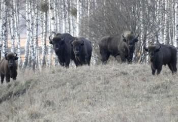 Foto de Bisontes europeos