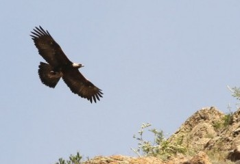 Foto de Águila real