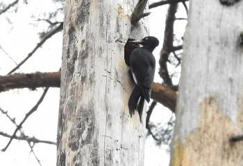 Foto de Black Woodpecker