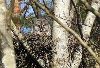 Foto de Great Grey Owl