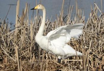 Foto de Whooper Swan
