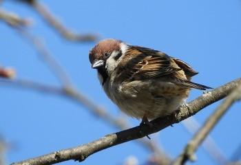 Foto de Tree Sparrow