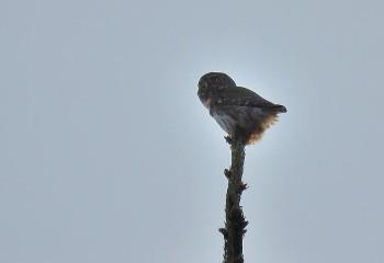 Foto de Eurasian Pigmy Owl