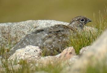 Foto de Lagópodo alpino