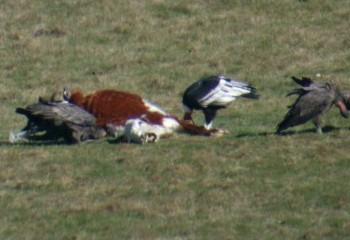 Foto de Cóndores andinos