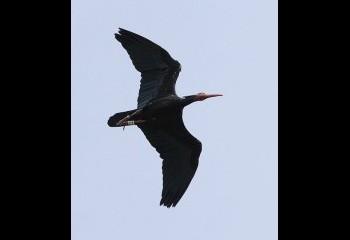 Foto de Ibis eremita