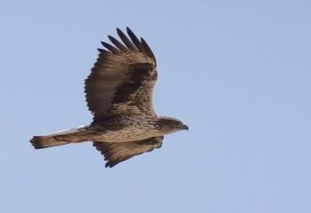 Foto de Águila azor perdicera