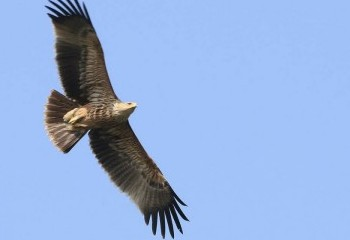 Foto de India 2019: Águila imperial oriental