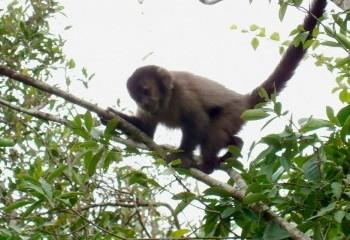 Foto de Mono capuchino