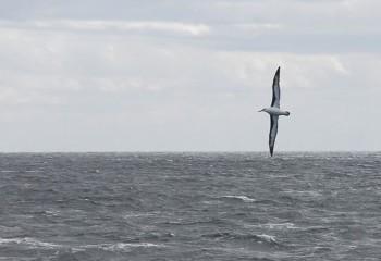 Foto de Albatros ojeroso
