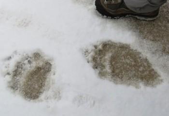 Foto de Huellas de oso