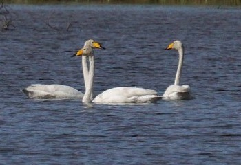 Foto de Cisnes cantores