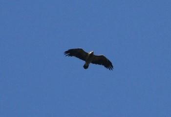 Foto de Águila imperial oriental