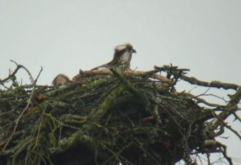 Foto de Águila pescadora