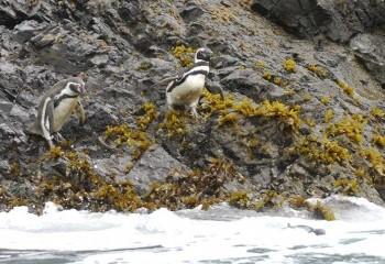 Foto de Pingüino de Humboldt (izda.)