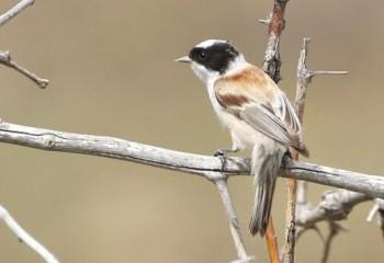 Foto de Pájaro moscón coronado