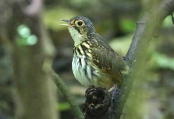 Foto de Costa Rica 2018: Tororoí de anteojos