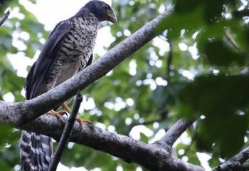 Foto de Costa Rica 2019: Halcón-montés collarejo