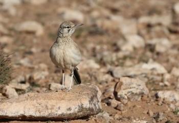 Foto de Marruecos 2019: Alondra ibis