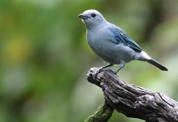Foto de Costa Rica 2019: Tangara azuleja