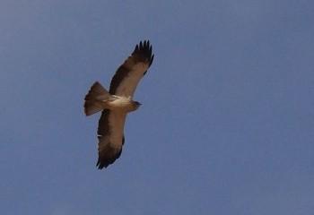 Foto de Águila calzada