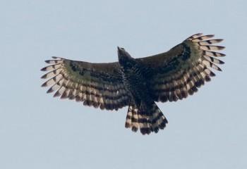 Foto de Águila coronada