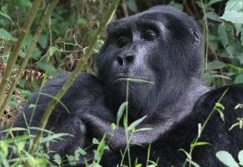 Foto de Gorila de montaña