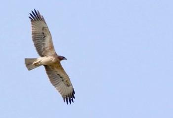 Foto de India 2019: Águila perdicera