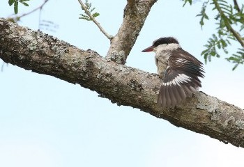 Foto de Striped Kingfisher
