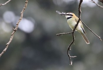 Foto de White-throated Bee-eater