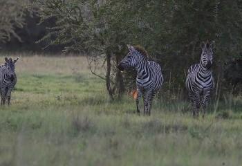 Foto de Uganda 2019: Cebras