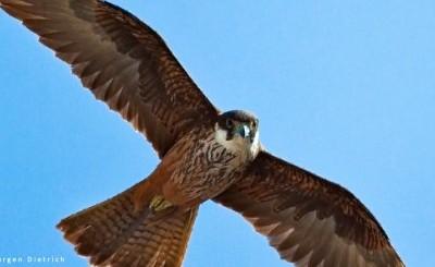 Especial halcones de Eleonora II